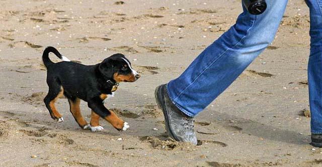 Appenzeller pup op het strand