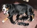 Helledora van de Tiendenschuur met haar pups, kennel Van de Wildschutvorsterhoeve