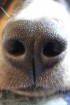 Neus van de Appenzeller Sennenhond