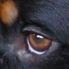 Oog van een Appenzeller Sennenhond